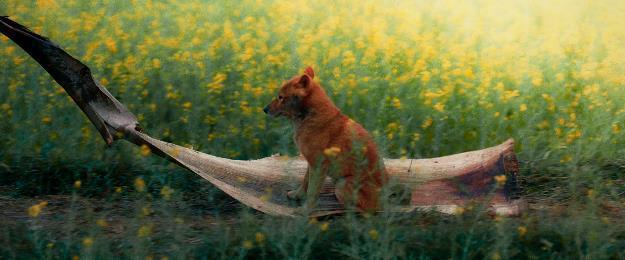 Sau nhiều lùm xùm, chó Shiba vẫn được chọn đóng Cậu Vàng-4