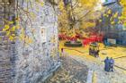 Cây lá vàng nghìn tuổi ở Trung Quốc vào độ đẹp nhất năm