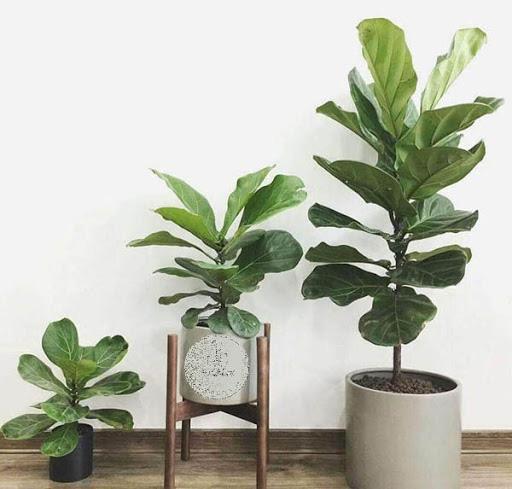 7 loại cây phong thủy vừa thanh lọc không khí vừa mang tài lộc, phú quý cho gia chủ-6