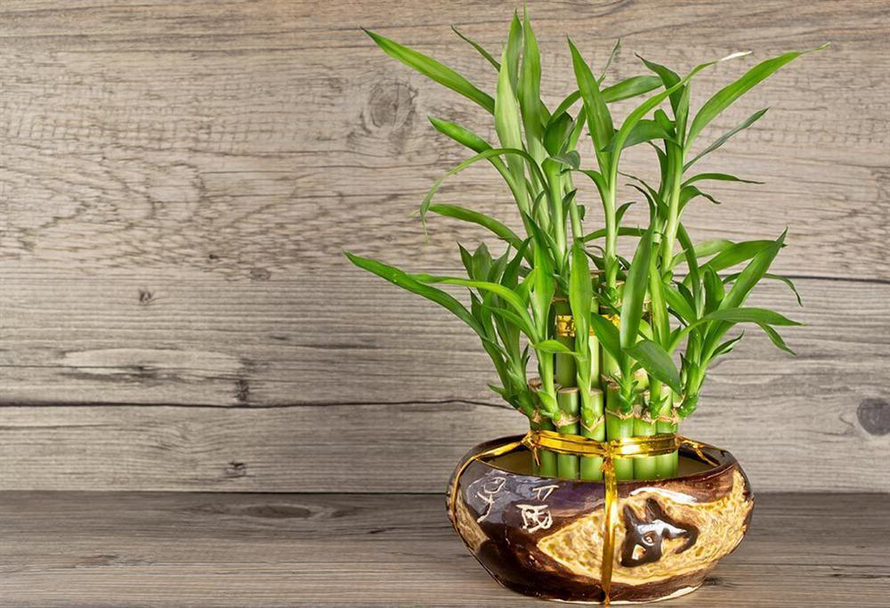 7 loại cây phong thủy vừa thanh lọc không khí vừa mang tài lộc, phú quý cho gia chủ-7