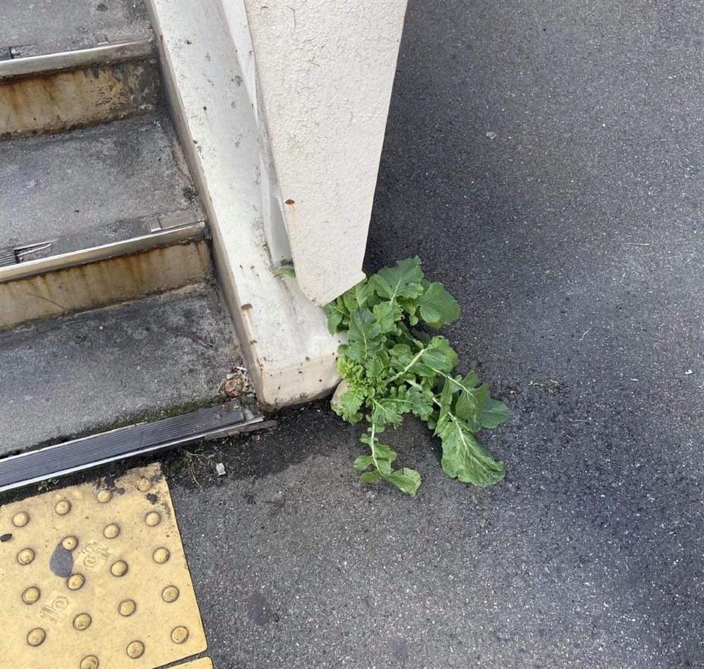 Số phận dễ đoán của cây củ cải trắng mọc nơi không tưởng thu hút dân tình đến check-in ầm ầm-2