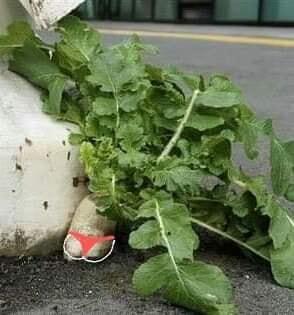 Số phận dễ đoán của cây củ cải trắng mọc nơi không tưởng thu hút dân tình đến check-in ầm ầm-5