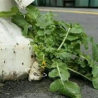 Số phận dễ đoán của cây củ cải trắng mọc nơi không tưởng thu hút dân tình đến check-in ầm ầm-6