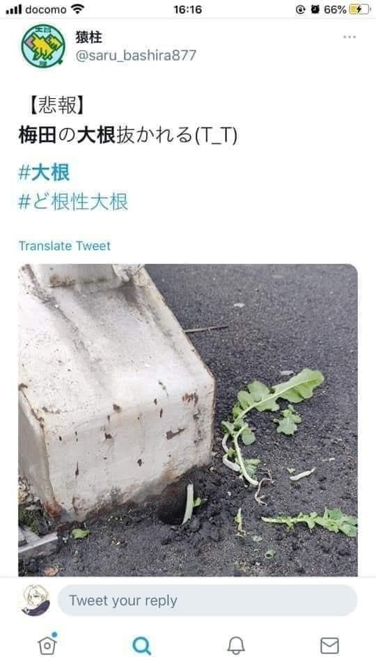 Số phận dễ đoán của cây củ cải trắng mọc nơi không tưởng thu hút dân tình đến check-in ầm ầm-9