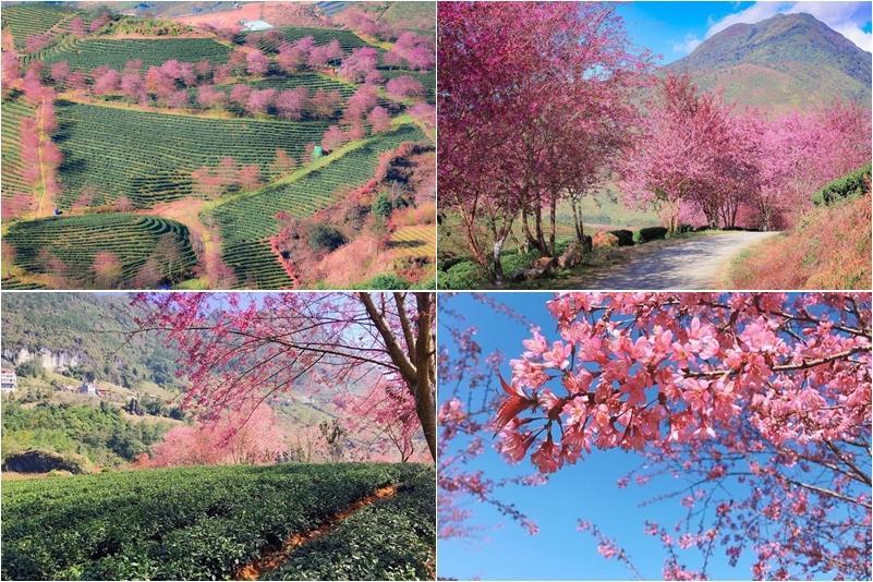 Giới trẻ ngẩn ngơ đón mùa xuân đến sớm giữa muôn sắc hồng của đồi chè Ô Long-1