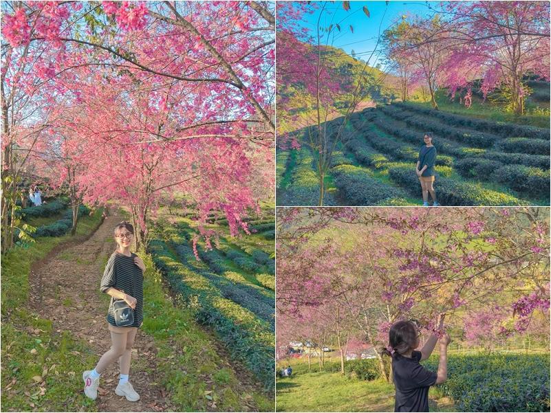 Giới trẻ ngẩn ngơ đón mùa xuân đến sớm giữa muôn sắc hồng của đồi chè Ô Long-5