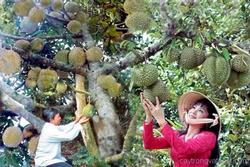 Ăn sầu riêng đã lâu nhưng ít ai biết về cách người nông dân thu hái loại quả này