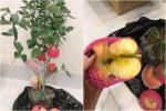Hí hửng mua táo bonsai online về chơi Tết, thanh niên ngã ngửa khi nhận hàng