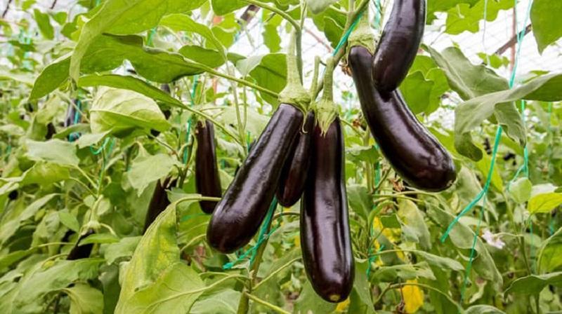 Những loại quả mà bấy lâu nay nhiều người lầm tưởng thuộc họ rau củ-3