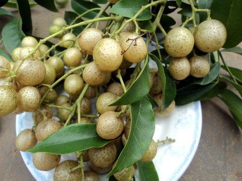 Những loại quả rừng rụng đầy chả ai nhặt nhưng lại được dân thành phố cực mê-5