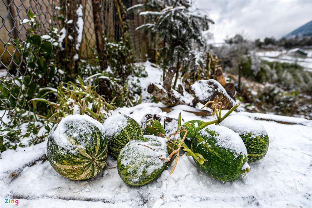 Tuyết phủ dày 20 cm, trâu bò chết cóng-1