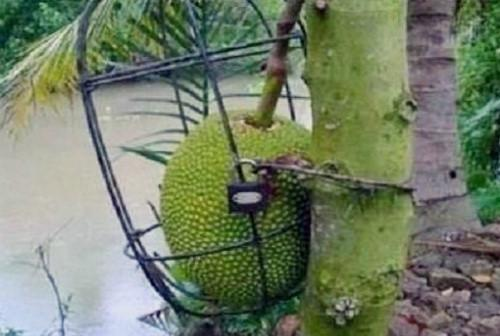 Series chống trộm trái cây chẳng khác gì thiên la địa võng thách thức kẻ xấu-7