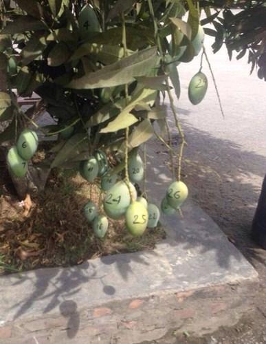 Series chống trộm trái cây chẳng khác gì thiên la địa võng thách thức kẻ xấu-9