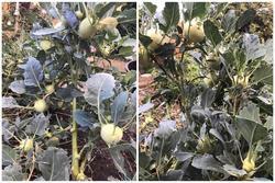 Thanh niên khoe cây su hào nhà trồng um tùm như 'đột biến'