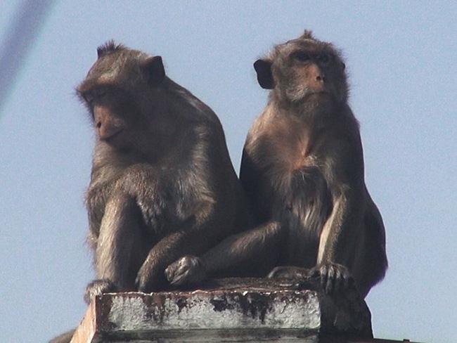 Clip: Đàn khỉ đuôi dài đại náo trong khu dân cư ở TP.HCM, bắn thuốc mê di rời-1