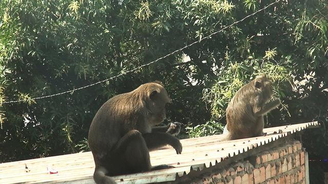 Clip: Đàn khỉ đuôi dài đại náo trong khu dân cư ở TP.HCM, bắn thuốc mê di rời-3