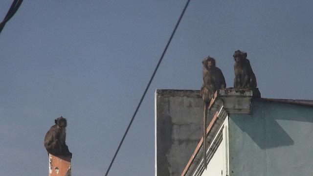 Clip: Đàn khỉ đuôi dài đại náo trong khu dân cư ở TP.HCM, bắn thuốc mê di rời-5