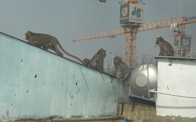 Clip: Đàn khỉ đuôi dài đại náo trong khu dân cư ở TP.HCM, bắn thuốc mê di rời-2