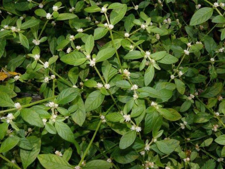 5 loại rau mọc dại ven đường bỗng trở thành đặc sản nổi tiếng-9