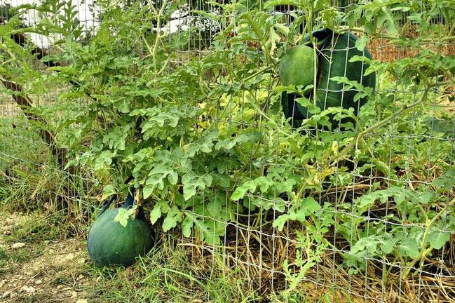 Loạt thảm họa cây nhà trồng, quả hàng xóm hưởng khiến chủ nhân phiền lòng không thôi-4