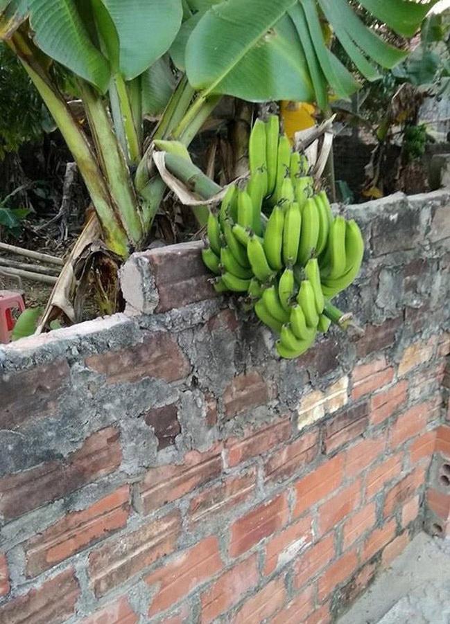 Loạt thảm họa cây nhà trồng, quả hàng xóm hưởng khiến chủ nhân phiền lòng không thôi-6