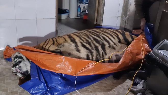 Vụ bắt hổ nằm trong nhà dân ở Hà Tĩnh: Chủ nhà là nông dân, có nuôi hươu lấy nhung-2