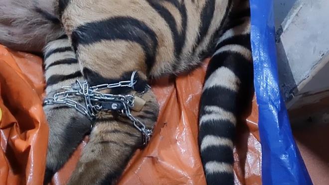 Vụ bắt hổ nằm trong nhà dân ở Hà Tĩnh: Chủ nhà là nông dân, có nuôi hươu lấy nhung-3