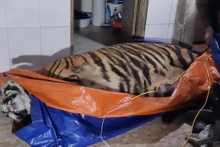 Vụ bắt hổ nằm trong nhà dân ở Hà Tĩnh: Chủ nhà là nông dân, có nuôi hươu lấy nhung