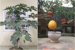 'Cười ngất' với loạt cây bonsai trưng Tết 'bá đạo', đào quất còn thua xa