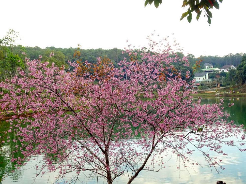 Chẳng cần lên Đà Lạt, Kon Tum cũng có hoa mai anh đào phủ hồng cả bầu trời đây này-1