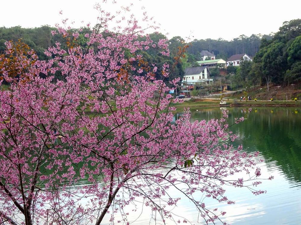 Chẳng cần lên Đà Lạt, Kon Tum cũng có hoa mai anh đào phủ hồng cả bầu trời đây này-2