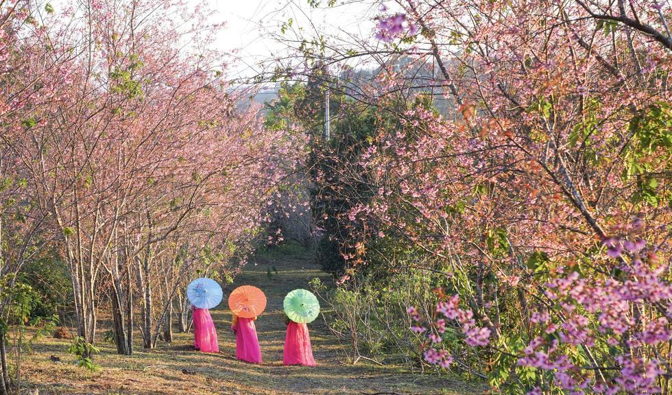 Chẳng cần lên Đà Lạt, Kon Tum cũng có hoa mai anh đào phủ hồng cả bầu trời đây này-4