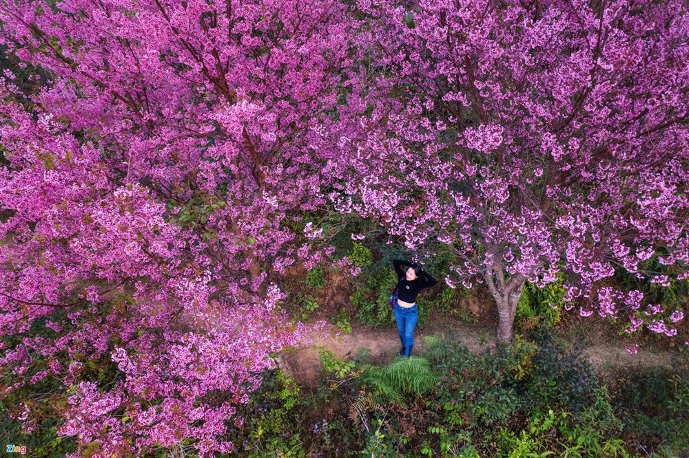 Chẳng cần lên Đà Lạt, Kon Tum cũng có hoa mai anh đào phủ hồng cả bầu trời đây này-5