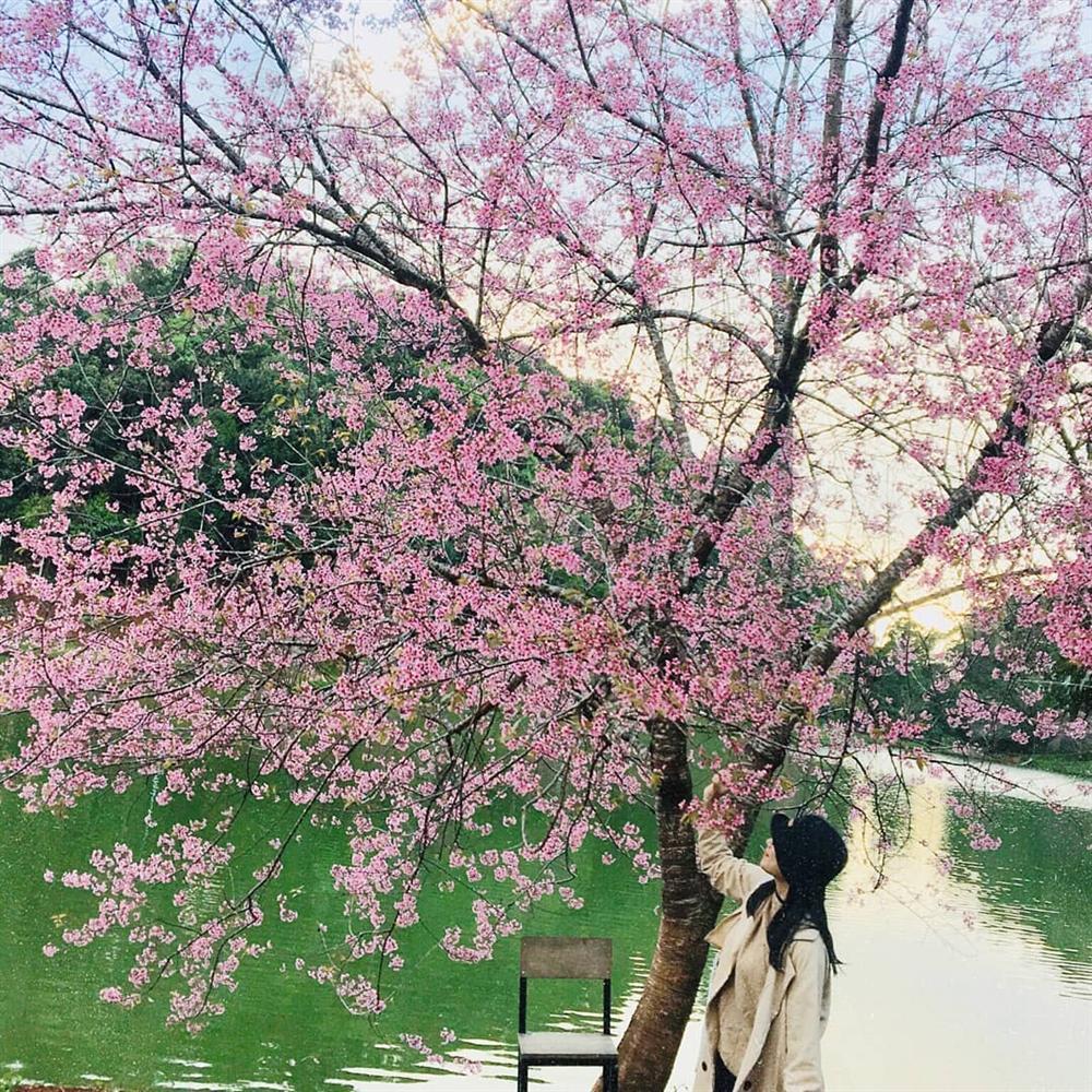 Chẳng cần lên Đà Lạt, Kon Tum cũng có hoa mai anh đào phủ hồng cả bầu trời đây này-9