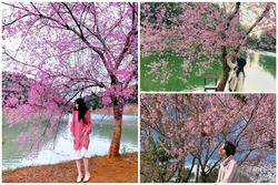 Chẳng cần lên Đà Lạt, Kon Tum cũng có hoa mai anh đào phủ hồng cả bầu trời đây này