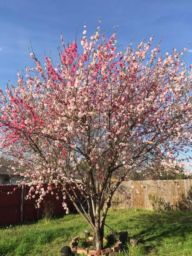 Cây hoa đào mix 3 màu đỏ - hồng - trắng siêu quý hiếm khoe sắc rực rỡ-2