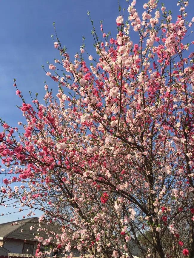 Cây hoa đào mix 3 màu đỏ - hồng - trắng siêu quý hiếm khoe sắc rực rỡ-3