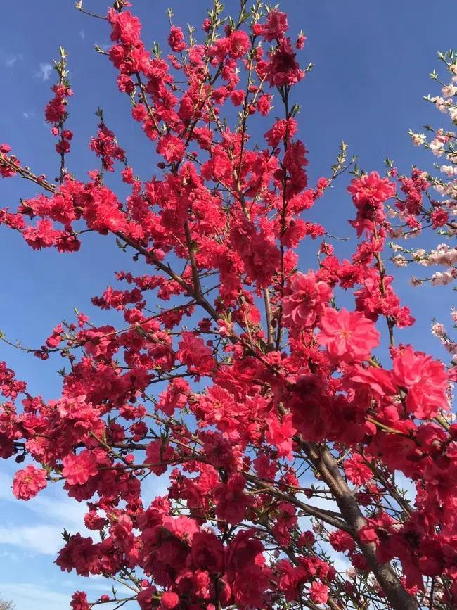 Cây hoa đào mix 3 màu đỏ - hồng - trắng siêu quý hiếm khoe sắc rực rỡ-4