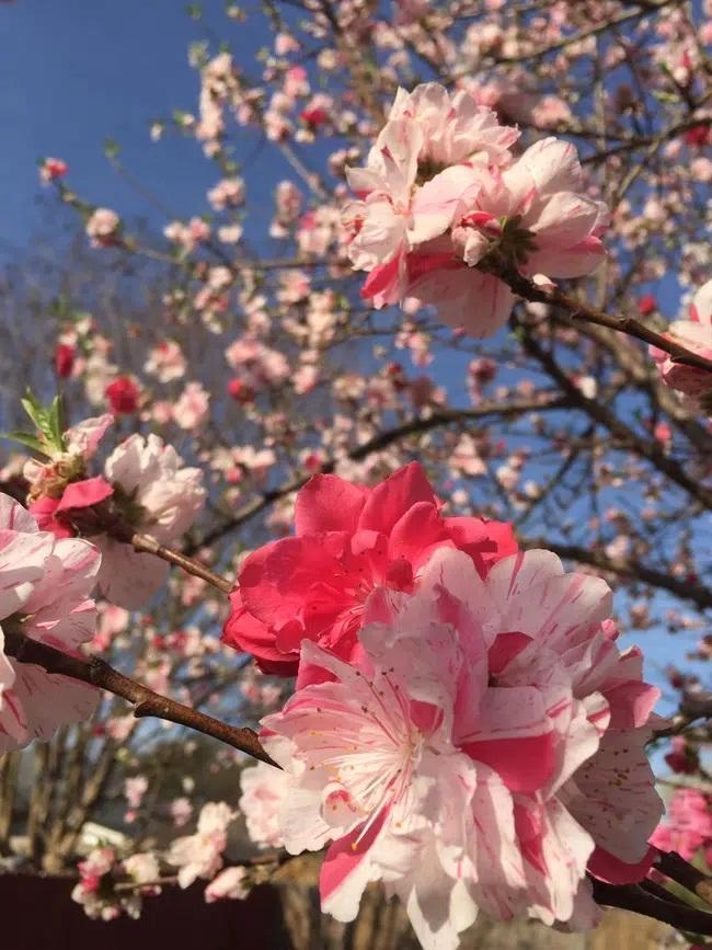 Cây hoa đào mix 3 màu đỏ - hồng - trắng siêu quý hiếm khoe sắc rực rỡ-5