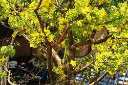 Người đàn ông trộm cây mai cao hơn 2m: Lay cây long gốc, cho lên xe kéo mang về nhà