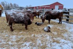 Trời lạnh đến nỗi gia súc ở Mỹ rụng tai
