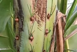 Người Thái Lan chỉ cách trồng hành trong thân cây chuối cực thông minh và dễ thực hiện