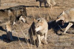 Người nuôi 200 con sói ở Nội Mông