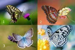 Chọn con bướm đẹp nhất để biết may mắn hay rủi ro đang đến với bạn