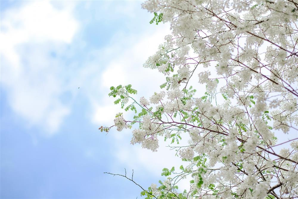 Hoa sưa nở trắng trời tạo nên khung cảnh Hà Nội đẹp như thơ, đầy xao xuyến-2