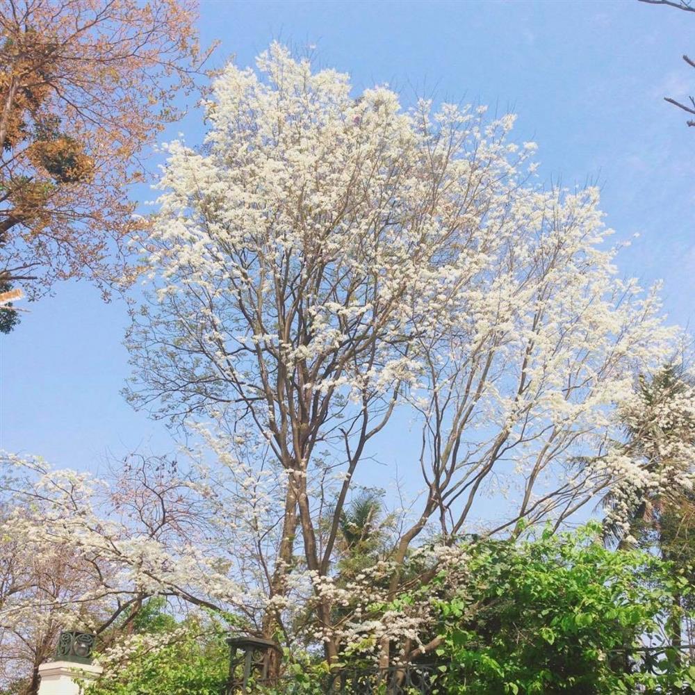 Hoa sưa nở trắng trời tạo nên khung cảnh Hà Nội đẹp như thơ, đầy xao xuyến-3