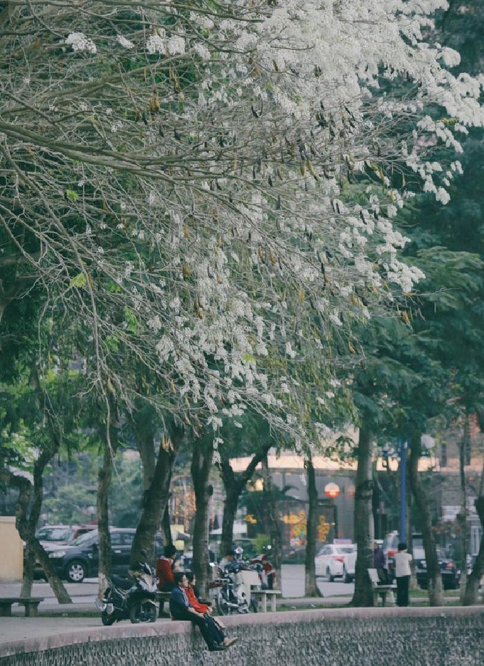 Hoa sưa nở trắng trời tạo nên khung cảnh Hà Nội đẹp như thơ, đầy xao xuyến-6