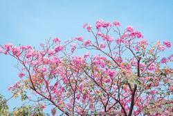 Hẹn hò Sài Gòn: Hoa kèn hồng nở sớm rực rỡ một khoảng trời đẹp tựa phim