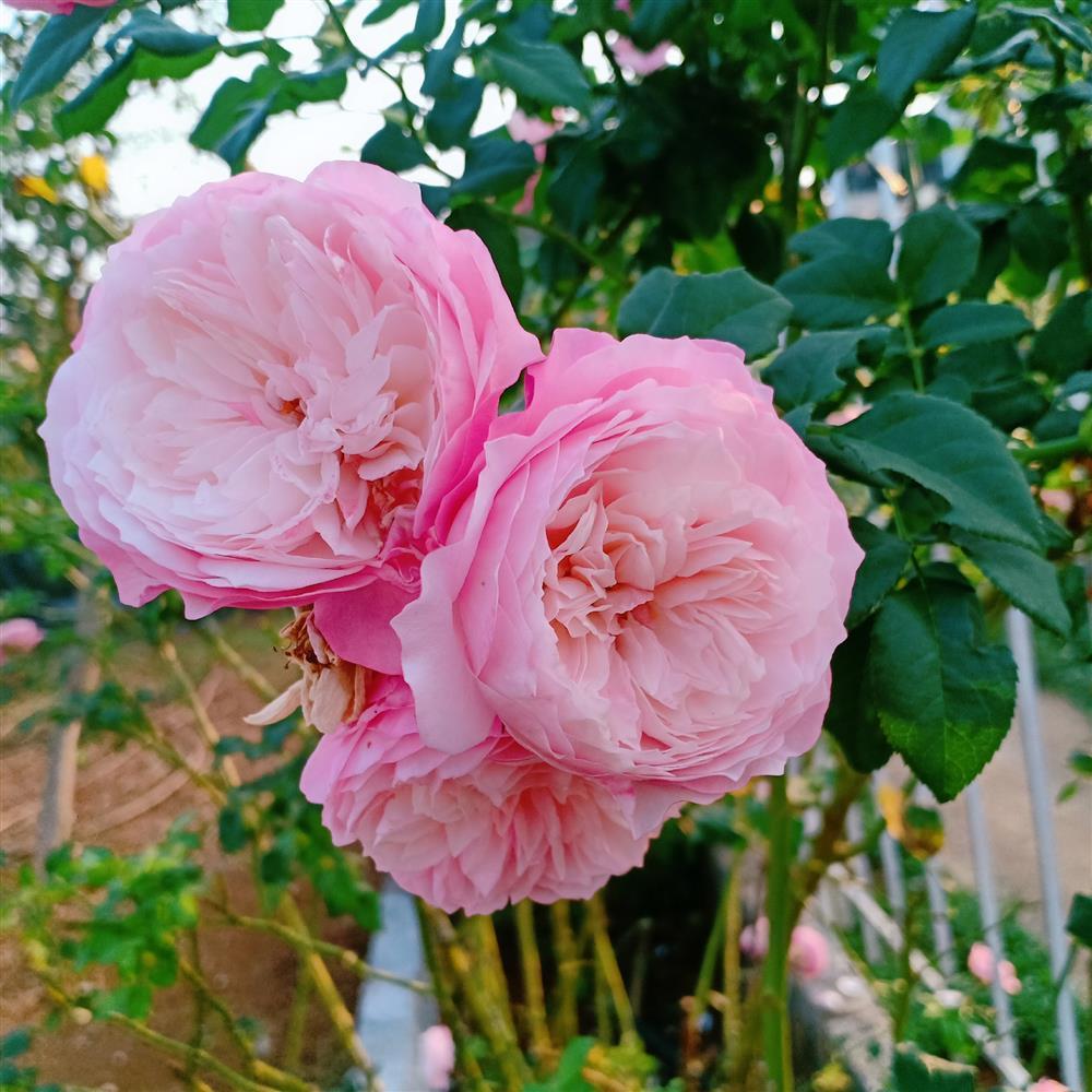 Vườn hoa giấy đẹp như cổ tích của chàng trai trẻ dành cả thanh xuân chăm sóc-10