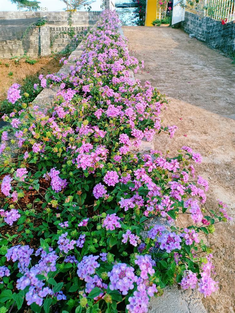 Vườn hoa giấy đẹp như cổ tích của chàng trai trẻ dành cả thanh xuân chăm sóc-13